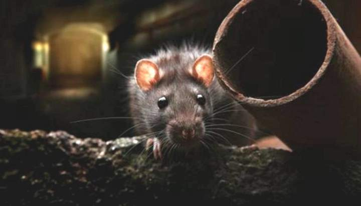 New York authorities have announced their efforts to reduce the number of rats and educate citizens about the disease.