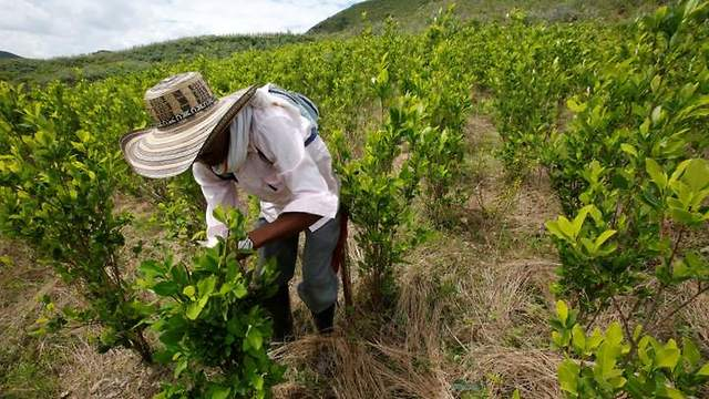 A farmer cleans a coca crop