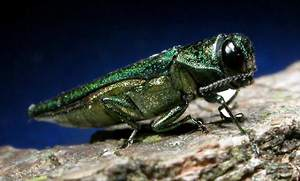 Forest VA Arborist Service Helps Educate Residents About Emerald Ash Borer