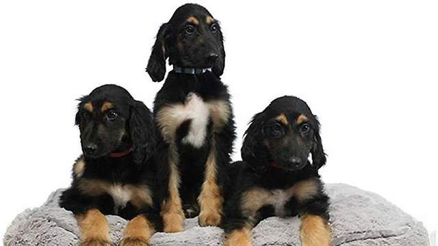 Clones of the first cloned dog