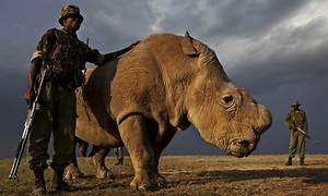 World's Last Male Northern White Rhino Joins Tinder To Save His Species