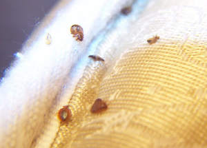 Preferred Pest Control in Savannah, GA Releases New Blog on Bed Bugs