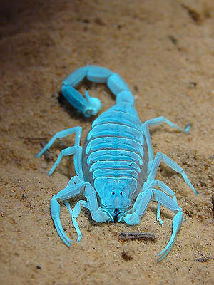 Ultraviolet Flashlight Helps Researchers Find New Species of Scorpion in Death Valley